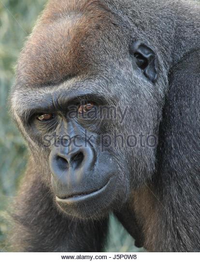 Säugetier Affe Gorilla Menschenaffen Blick Kontakt Primat Lehmbruck gorilla Stockbild
