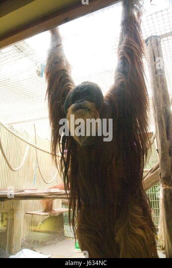 tierische Menschenaffen Tier Menschenaffen Orang-Utan Hominidae trockennasenaffen Stockbild