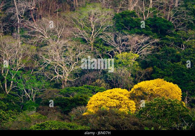 Regenwald neben Rio Chagres in Soberania Nationalpark, Republik von Panama. Die gelben Bäume blühen Gold Stockbild