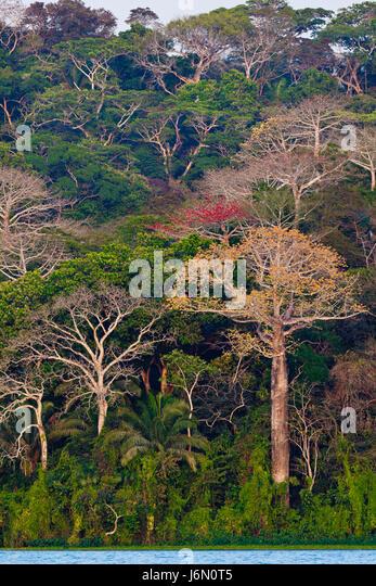 Regenwald neben Rio Chagres in Soberania Nationalpark, Republik von Panama. Die großen Bäume sind Cuipo Stockbild