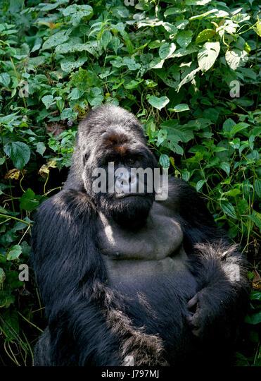 Berg-Gorilla-Familie im Virunga Nationalpark, demokratische Republik Kongo - Januar 2017 Stockbild