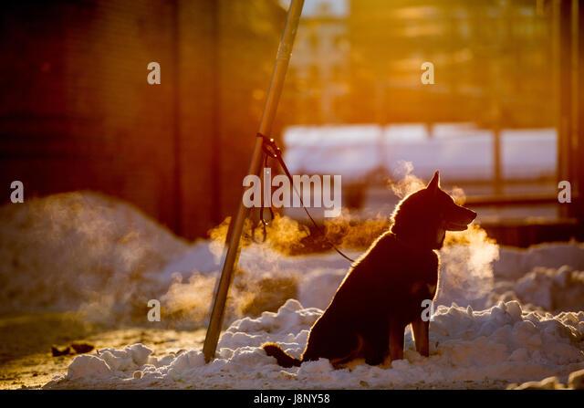 Hund (Canis Lupus Familiaris) an Pfahl gebunden Stockbild