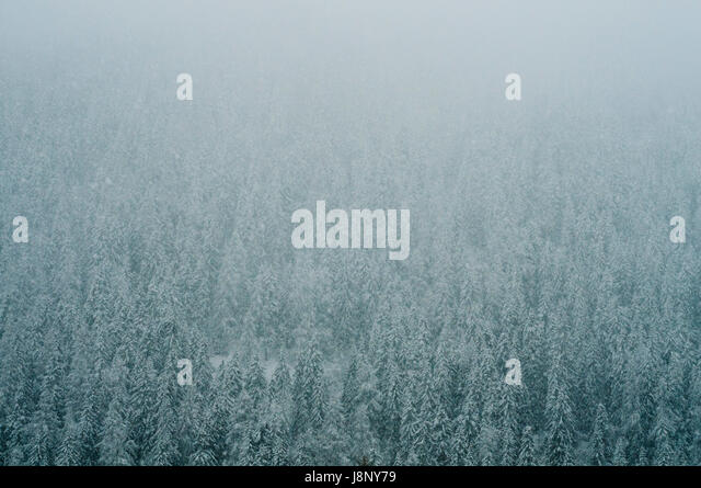 Nadelwald im winter Stockbild