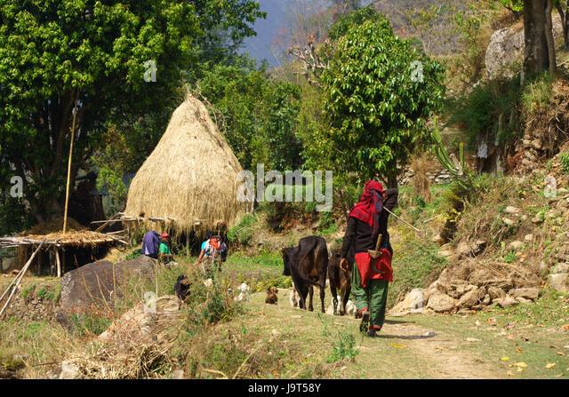 Einheimische Frau Rinder auf den Annapurna Circuit Betweeen Lili Bhir und Ghermu führt. Stockbild