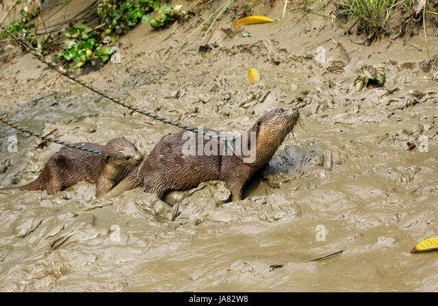 Ausgebildete Otter mit in das traditionelle Otter Angeln am Chitra Fluß in Narail Bezirk. Diese Methode wird Stockbild