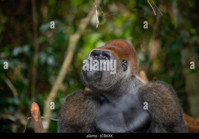 Porträt von Flachlandgorilla. Republik Kongo. Eine hervorragende Abbildung. Stockbild
