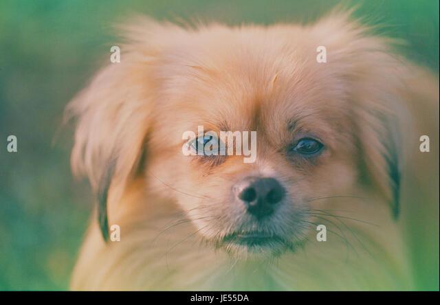 Film Foto von Pekinese Hund Portrait abgelaufen Stockbild