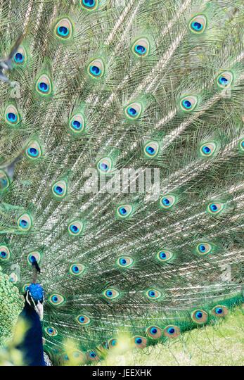 Pfauenfedern zeigen. Exotischer Vögel Gefieder. Tierwelt-Muster mit den Augen. Stockbild