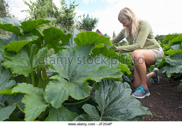 Reife Frau im Gemüsebeet Sommergarten Stockbild