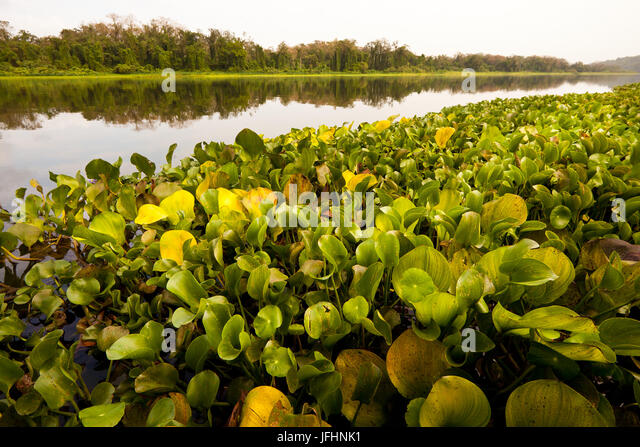Reingen am Ufer des Rio Chagres, Soberania Nationalpark, Republik von Panama. Stockbild