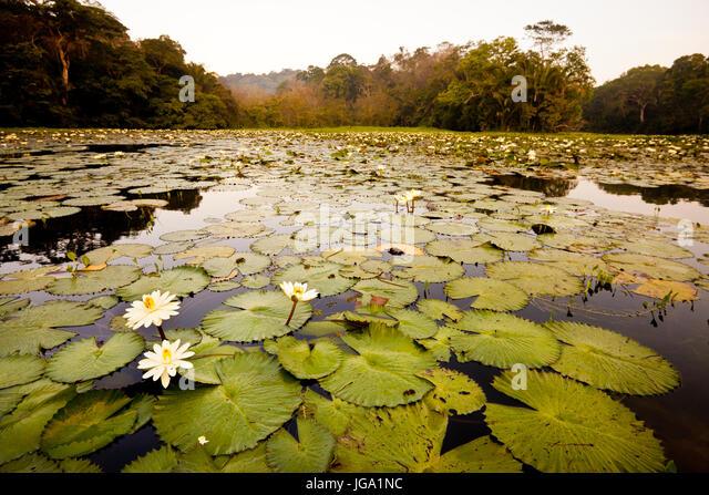 Seerosen in Rio Chagres, Soberania Nationalpark, Republik von Panama. Stockbild