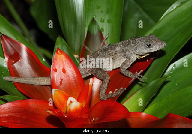 Karibik-Anolis Stockbild
