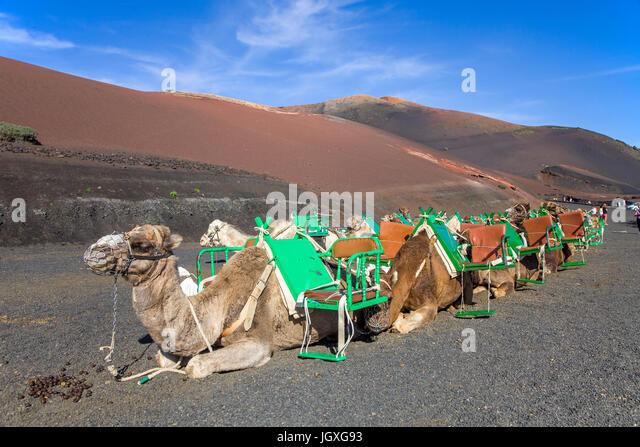 Rastende Dromedare, Einhoeckriges Kamel (Camelus Dromedarius) Im Nationalpark Timanfaya, Lanzarote, Kanarische Inseln, Stockbild