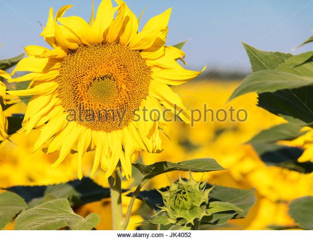 Sonnenblumen-Provence Frankreich, Sonnenblume blüht, Runde Blume Konzept Sonnenblume nahe Farbe Blumen Blume Stockbild