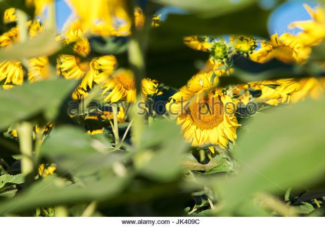 Sonnenblumen Pflanze Blumen Hintergrund Sonnenblumen Provence Frankreich Sonnenblume Bilder Farbe Blumen Sonnenblume Stockbild
