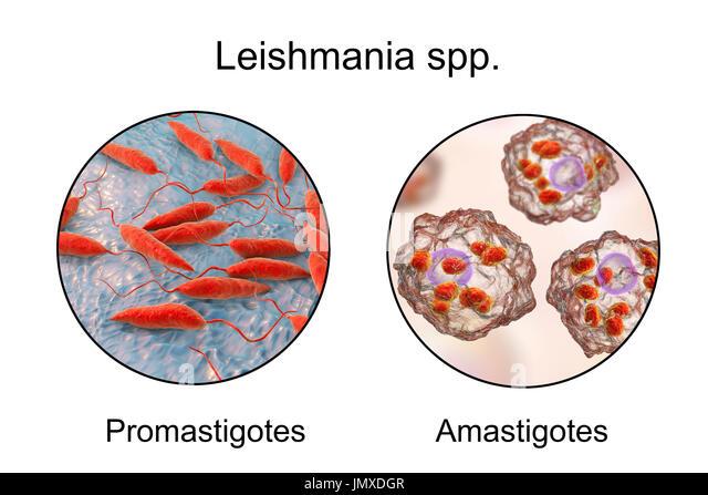 Promastigotes und Amastigoten von Leishmania-Parasiten in Makrophagen, Abbildung. Leishmania SP. verursachen Leishmaniose, Stockbild