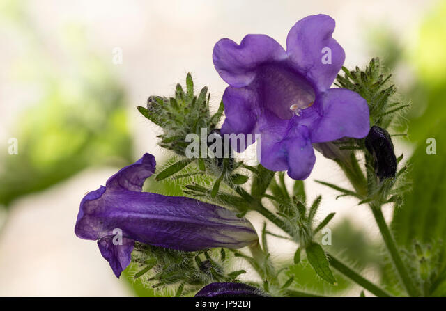 strobilanthes stockfotos strobilanthes bilder alamy. Black Bedroom Furniture Sets. Home Design Ideas