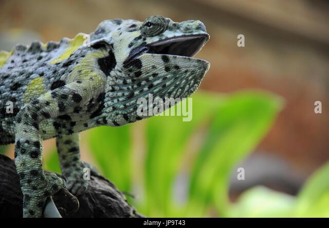 Nahaufnahme von einem Pantherchamäleon auf einem Ast Stockbild