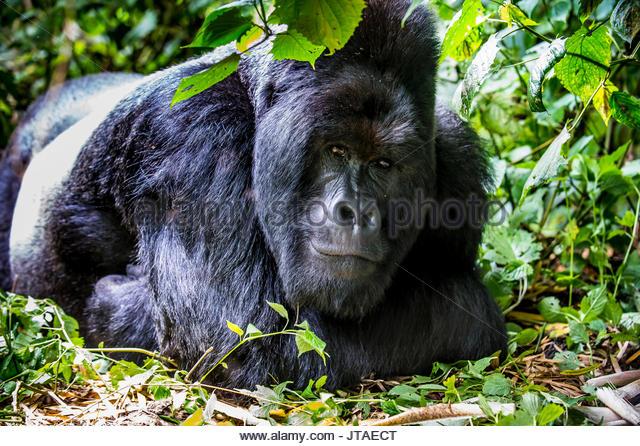 Silverback Berggorilla (Gorilla beringei beringei) im Virunga Nationalpark, UNESCO, Demokratische Republik Kongo Stockbild