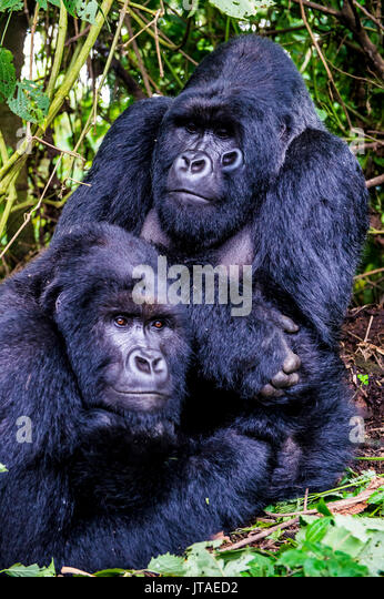 Silber-schwarzen Berggorillas (Gorilla beringei beringei) im Virunga Nationalpark, UNESCO, Demokratische Republik Stockbild