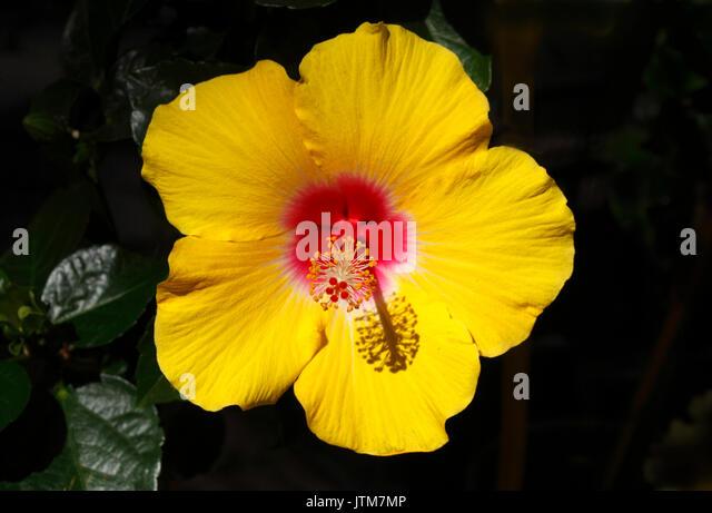 Gelb blühenden Hibiscus Flower Stockbild