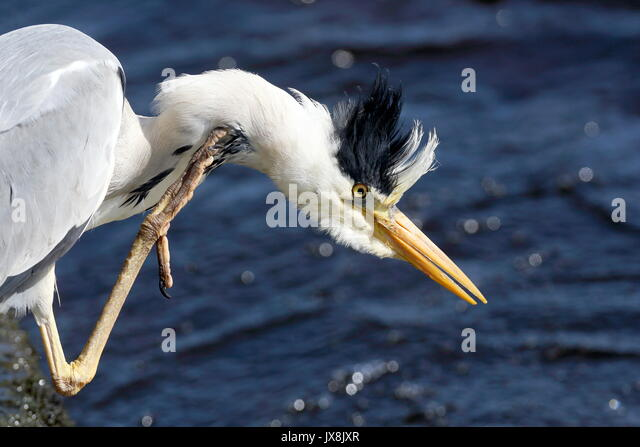 Heron Kratzen am Flussufer Stockbild