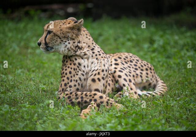 Gepard (Acinonyx jubatus) ist in der African Safari gesehen, Dvur Kralove nad Labem Zoo, der Tschechischen Republik, Stockbild