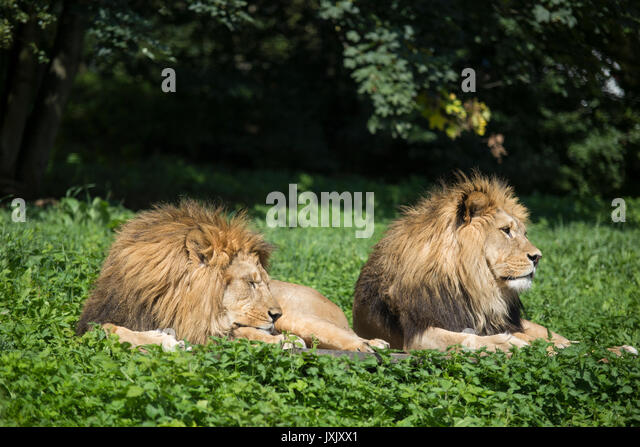 Löwen (Panthera leo) sind in der African Safari gesehen, Dvur Kralove nad Labem Zoo, der Tschechischen Republik, Stockbild