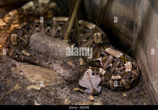 Aus okumen Viper (Bitis gabonica) ist an der Dvur Kralove nad Labem Zoo, der Tschechischen Republik, am 12. August Stockbild