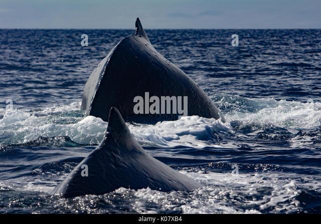 Eine konkurrierende Gruppe oder Hitze laufen der Buckelwale in der Gruppe Haapai Tonga Stockbild