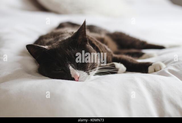 Schläfrig, graue, braune und weiße flauschige Katze ruht mit Blick auf das helle Weiß bequemes Bett Stockbild