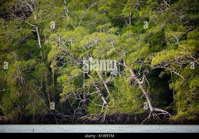 Mangrovenwald bei Ebbe in der Nähe der Mündung des Rio Grande, Pazifikküste, Cocle provovince, Republik Stockbild