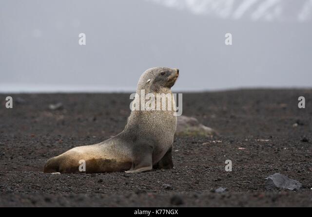 Antarktische Seebär (Arctocephalus Gazella), Deception Island, Antarktis Stockbild