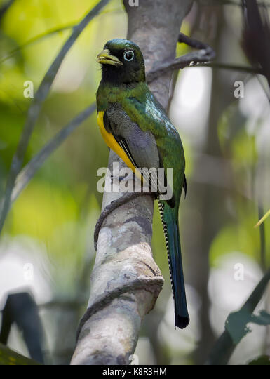 Black-throated Trogon (Trogon rufus), Gamboa, Panama, Februar Stockbild