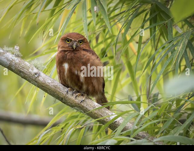 Costa Rica Pigmy-Owl (Glaucidium costaricanum), rufous Morph, Chiriqu', Panama, März Stockbild