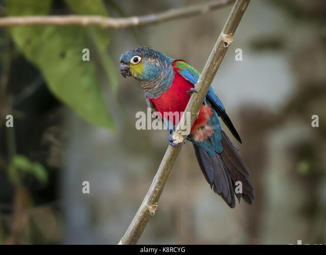 Crimson-bellied Parakeet (Pyrrhura Perlata), Mato Grosso, Brasilien, Juni Stockbild