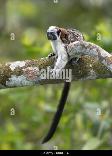 Geoffroy's Tamarin (Saguinus geoffroyi), Gamboa, Panama Stockbild