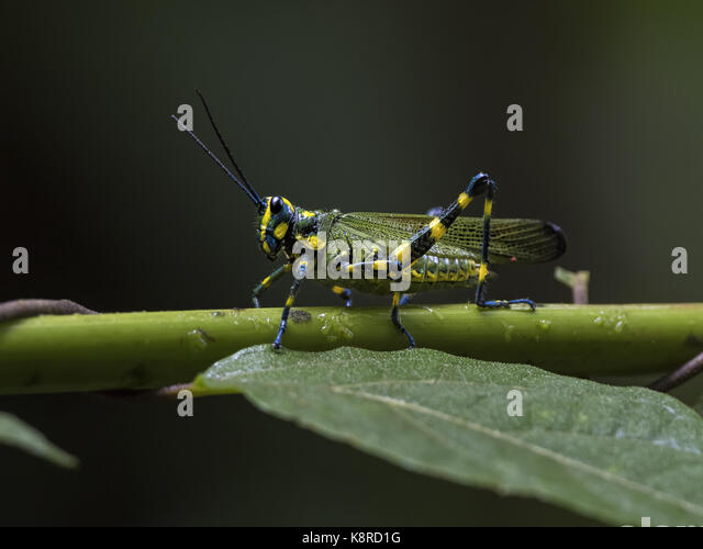 Soldat Grasshopper (Chromacris speciosa), Valle de Ant'n, Panama, Juli Stockbild