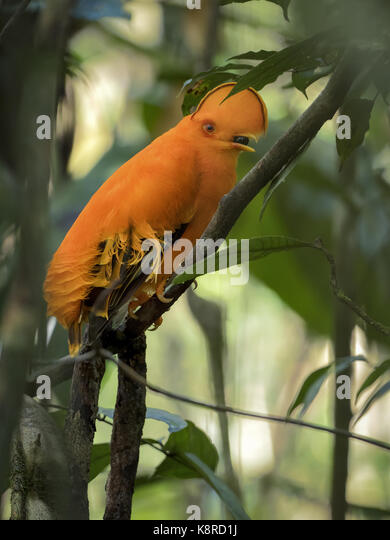 Guianan Cock-of-the-Rock (Rupicola rupicola), männlich Fütterung auf Berry, Amazonas, Brasilien, Juni Stockbild