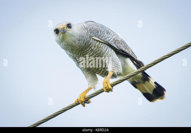 Grau - gezeichnete Hawk (Buteo nitidus), am Straßenrand Draht, Darien, Panama gehockt, Dezember Stockbild