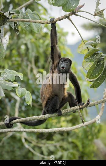 Mantled Brüllaffe (Alouatta palliata), Aufruf von cecropia Baum, Gamboa, Panama, Dezember Stockbild