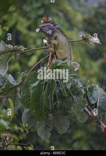Grüner Leguan (Iguana iguana), nach Fütterung auf cecropia Blätter unter Regen, Panama, Juli Stockbild