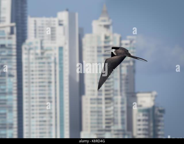 Herrliche Frigate (Fregata magnificens), juvenile gegen Wolkenkratzer fliegen, Punta Pacifica, Panama City, Panama, Stockbild