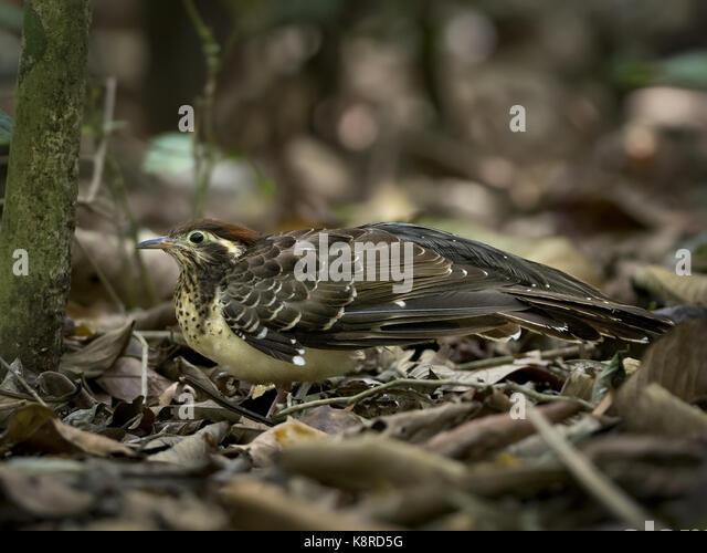 Fasan Kuckuck (Dromococcyx phasianellus), Gamboa, Panama, März Stockbild