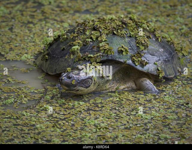 Arrau River Turtle (Podocnemis expansa) unter Wasser Linsen, Amazonas, Brasilien, Juni Stockbild