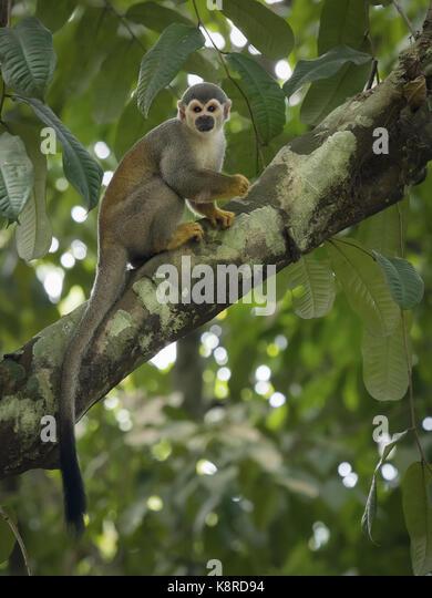 Gemeinsame Totenkopfäffchen (Saimiri sciureus), Amazonas, Brasilien, Juni Stockbild