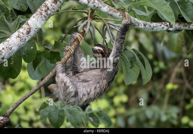 Braun - Drei throated-toed Sloth (Bradypus variegatus), Gamboa, Panama, Stockbild