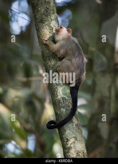 Snethlage's Marmoset (Mico emiliae), Mato Grosso, Brasilien, Juni Stockbild