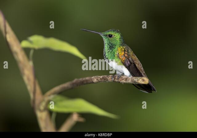 Snowy-bellied Kolibri (Amazilia Edward), Cerro Azul, Panama, Juli Stockbild