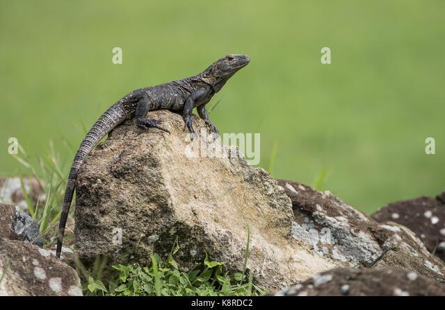 Schwarz Stacheligen-tailed Iguana (Ctenosaura Imilis), Weibliche, Panama, Juli Stockbild